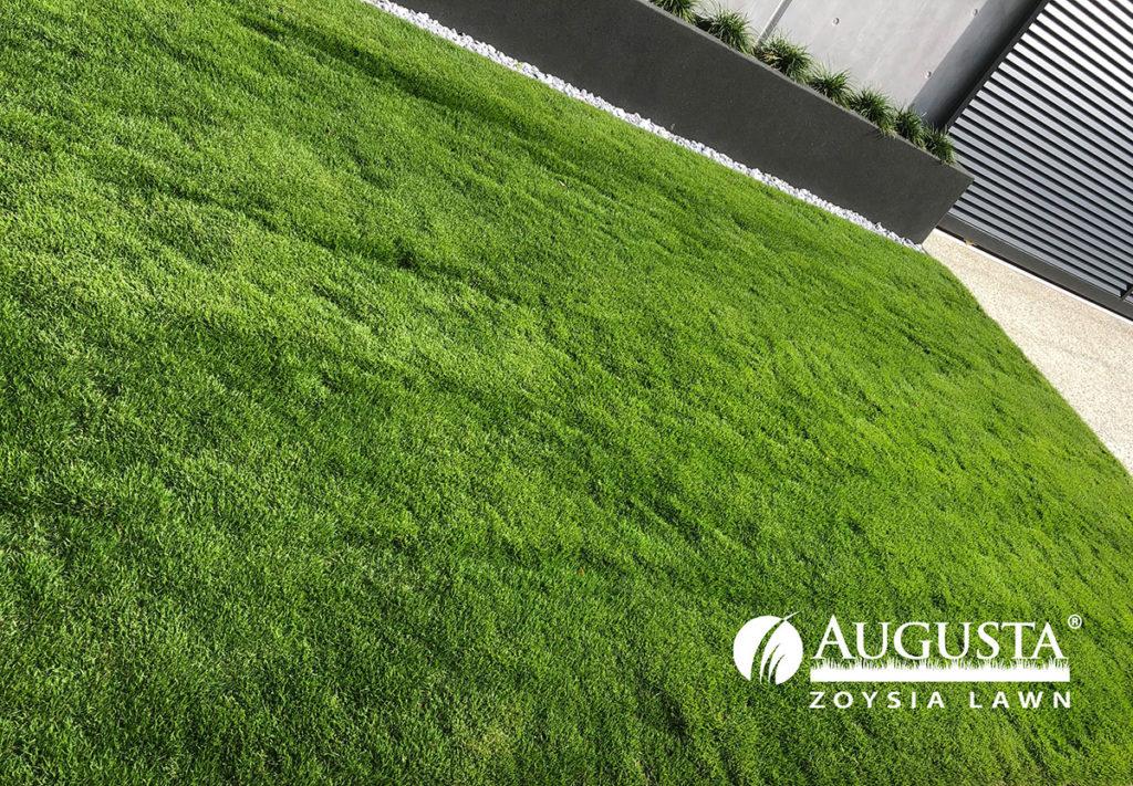 Augusta-Zoysia-Turf Lawn-IMG_2094-1708-w